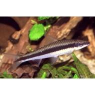 epalzeorhynchus siamensis