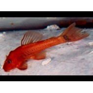 Ancistrus red