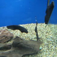 Apteronotus Albifrons (pesce coltello)