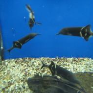 Gnathonemus petersii (pesce elefante)