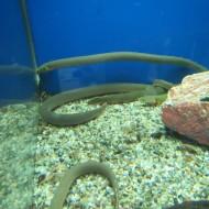 calamoichthys calabaricus