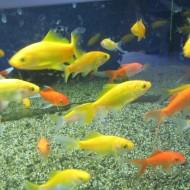 Pesce giallo canarino