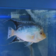 Blue Diamond Flowerhorn