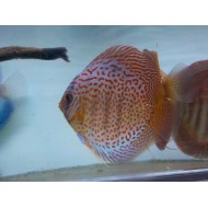 Discus turchese rosso XL