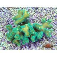 Stylophora pistillata neon green