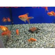 Pesce rosso tre code