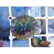 Scolymia West Australia Mini