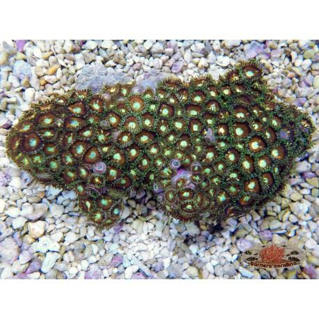 Zoanthus australiani