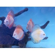 Discus pigeon red