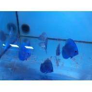 discus cobalt blu