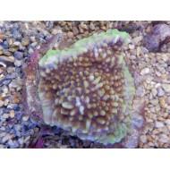 Montipora cebuensis