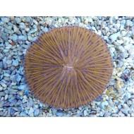 Fungia Spp.
