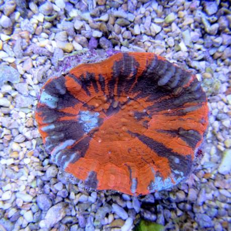 Scolymia australis
