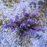 Acropora valida